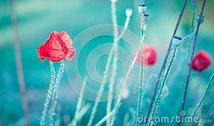 Red wild poppies in summer. Photo taken on: 2015