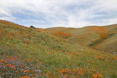 """expressions-of-nature:  """"Poppies in Antelope Valley, CA by brontis5  """""""