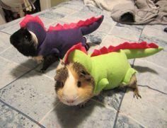 Dragon Guinea Pig