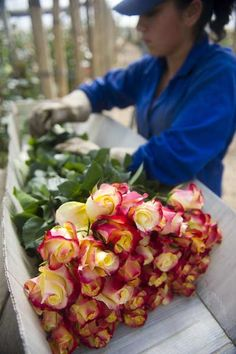 #colombia interesting fact: A Colombian worker selects flowers at Unique Collection farm in Cundinamarca department, Colombia. Saint Valentine's Day 2013 will be coming up with 500 million Colombian flowers sold, mainly exported to the United States. This major annual holiday generates 10 thousand additional jobs every year, primarily in Cundinamarca, where 76% of the export flowers are grown. For My handmade greeting cards visit me at My Personal blog…