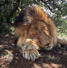 Handsome sleepy #lion ♡