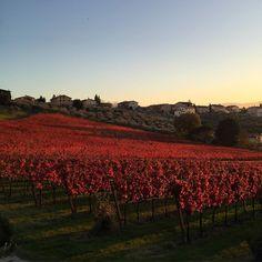 Colori autunnali in #umbria  #autunno #vineyard #sagrantino #natura #colori