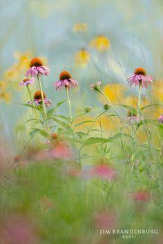 Jim Brandenburg Photography - Prairie Coneflowers, Summer in MN