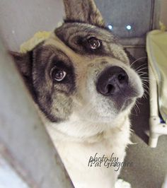 CALIFORNIA: A4312569 My name is Sashi. I am a very friendly 4 yr old female tricolor Akita. My owner left me here on July 3. available 7/8/15 Baldwin Park https://www.facebook.com/photo.php?fbid=996248103720360&set=a.705235432821630&type=1&theater