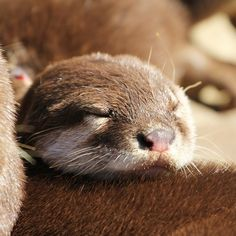 Otter dozes off to dream about fish Otters Cute, Baby Otters, River Otter, Sea Otter, Animals And Pets, Baby Animals, Cute Animals, Wild Life, Otter Pops