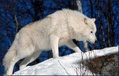 The arctic wolf (Canis lupus arctos), also called snow wolf or white wolf, is a subspecies of the gray wolf, a mammal of the family Canidae. Arctic wolves inhabit the Canadian Arctic, Alaska and the northern parts of Greenland. They also have white fur and long canine teeth for killing their prey