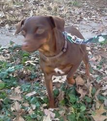 Bruno is an adoptable Miniature Pinscher Dog in Hoyleton, IL. Bruno is an awesome dog! He is sometimes shy at first but warms up quickly. Bruno loves children and is friendly with all adults. He is co...