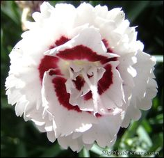 white carnations - red heart-great secondary flower