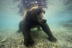 "Brown bears hunt salmon in Russia's Far East by photographer Michel Roggo.   ""The bear was wary of it at first and backed away so I put it down and tried again the next day. Eventually, after a few days I was able to take some photographs and get closer to the bear"" Picture: Michel Roggo/ Rex"