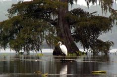 Lake Martin is a great place to spend the day or afternoon. With plenty to see including alligators and unique local birds you can easily fill the day with fun. They also offer canoe rentals if you want to explore the beautiful landscape and see the wildlife up close and personal.