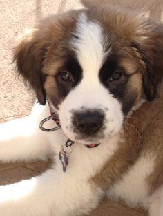 Kona St. Bernard puppy St Bernard Puppy, Dog Rules, Gentle Giant, Dogs And Puppies, Saints, Angels, Babies, Sweet, St Bernards