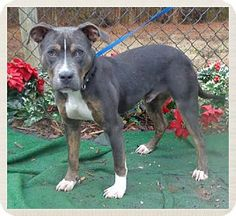 Marietta, GA - American Pit Bull Terrier Mix. Meet SCHROEDER-see video, a dog for adoption. http://www.adoptapet.com/pet/12189778-marietta-georgia-american-pit-bull-terrier-mix