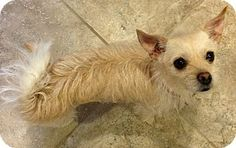 norwich terrier chihuahua mix