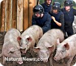 NaturalNews exclusive: Michigan government unleashes armed raids on small pig farmers, forces farmer to shoot all his own pigs