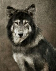 Pencil Portrait Mastery - Portrait of a wolf - how I see Renfield when hes in wolf form. - Discover The Secrets Of Drawing Realistic Pencil Portraits