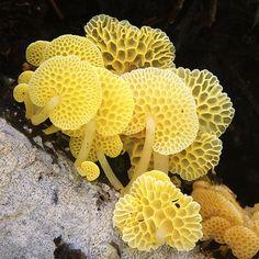 Favolaschia (Mycenaceae) es un género de generalmente pequeños, como de hongos basidiomicetos que se producen en todo el mundo, especialmente en los trópicos.