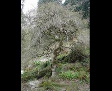Willow, Corkscrew
