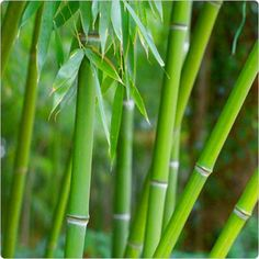 See these bamboo planting tips. Planting bamboo is preferably easy in fall in warm climates, in cooler zones spring is the best bamboo planting time. Apart from these two periods, avoid at all costs to plant bamboo during frost or severe heat.