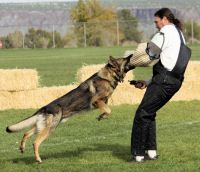 Does Your Dog Want To Be A Schutzhund Star Or Just Curious About