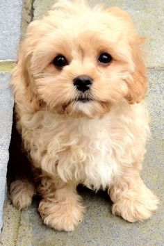 Cute Baby Dogs, Cute Little Puppies, Cute Dogs And Puppies, Cute Baby Animals, Animals And Pets, Pet Dogs, Doggies, Cute Small Dogs, Funny Puppies