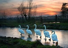 Marching swans