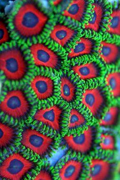 Watermelon Zoanthids -- corals!