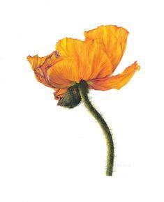Fiona Strickland, Oriental poppy (Papaver orientale) Watercolour on Fabriano Artistico HP 640gsm 23.63 x 19.75ins (60 x 50cm)