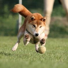 飛行犬ブームとかで? 旦那くんに撮ってもらいましたー。 おとちゃん。いい感じー  #柴犬マニア  #柴犬 #里親募集中