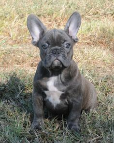 Blue french bulldog! I will have one someday!!!!