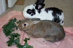 Rabbits make wonderful pets. Once you and your family learn about the basic care and dietary requirements, you can enjoy many years with your furry friend. There are several breeds to choose from, and they all have the same general characteristics. Read more.