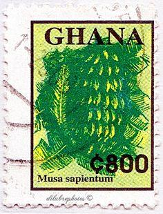 Ghana.  MUSA SAPIENLUM.  Scott 2525 A504, Issued 2006, Litho., Perf. 13 1/2, 800. /ldb.