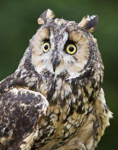 Long Eared Owl                                                                                                                                                                                 Mais