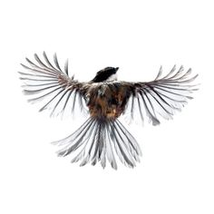 Chickadee.  Wild birds flying photographed by Paul Nelson.