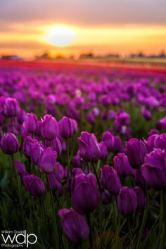 Sunset at Wooden Shoe Tulip Farm by William Dodd on 500px