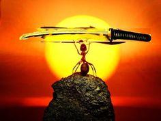 Kılıç Tutan Karıncalar 'Sisteme Giriş'