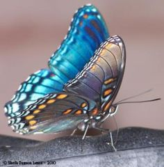 I ❤ butterflies . . . Red-spotted purple butterfly- Limenitis arthemis 'Astyanax'