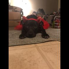 Really late but this was my babe on Halloween. She was a little devil! She even kept the headband on all night. We actually went trick or treating too!  #halloween #dogcostume #devil #princess #puppy #pitbullmix #pitbullsofinstagram #mylove #perfect #inlove #pitbull #rescuedogsofinstagram