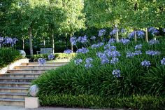 Hillside and steps with boxwood edging, Agapanthus
