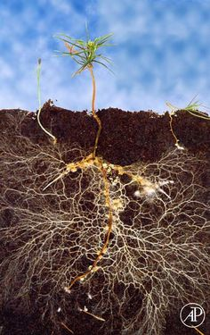 Mycorrhizal Fungi increases nutrient uptake and allows plants to communicate…