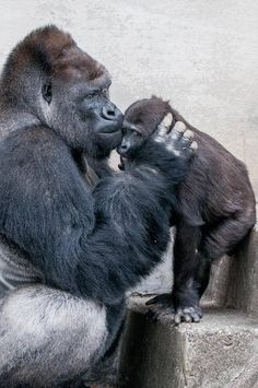 Father Love: Shabani & Annie, Higashiyama Zoo