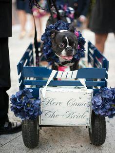 boston terrier puppy in wedding cart
