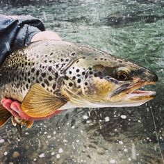 Brown trout - this photo looks like a watercolor painting.