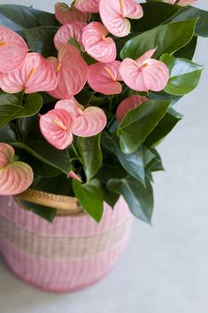 Flamingo flower (anthurium): important information and practical care tips! - anthuria flamingo flower care as a houseplant - Indoor Flowering Plants, Best Indoor Plants, Indoor Flowers, Ornamental Plants, Exotic Plants, Tropical Plants, Garden Plants, Indoor Hanging Plants, Porch Plants