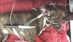 イヌコレ食べたステーキナイフあと数ミリで死んでいた子犬が奇跡の生還を果たす
