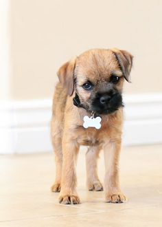 Border Terrier Puppy - looks like Banjo when he was smaller. They're getting so big already! Border Terrier Puppy, Terrier Dogs, Terriers, Bulldog Puppies, Dogs And Puppies, Doggies, I Love Dogs, Cute Dogs, Brown Dog