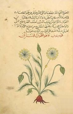 Discorides (ca. 40-90) was an ancient Greek physician, pharmacologist and botanist from Asia Minor. He is the author of the influential Materia Medica, of which several Arabic versions and commentaries were produced. An illustration and description of a Cinnamomum tree in a 10th-century Arabic manuscript of the Materia Medica. State University Library, Leiden.