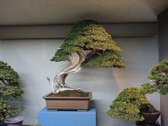 Kokufu Ten 2013. Perfect bonsai especimen