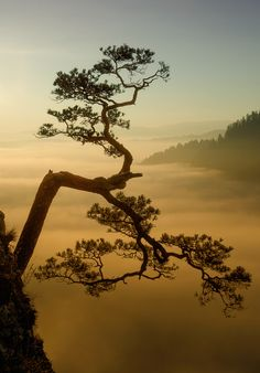 Famous pine tree on the top of Sokolica Mountain, Pieniny #Poland