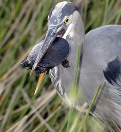 Heron eats a turtle. Well tries to!