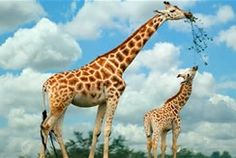 girraffe pictures - Bing images